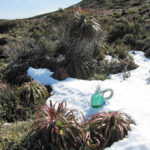 Wire basket in progress, in snow and pandani on the slopes of Mt Rufus in the Cradle Mountain - Lake St Claire National Park, Tasmania.