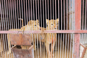 Two lionesses behind the bars of a dark, dirty concrete cage